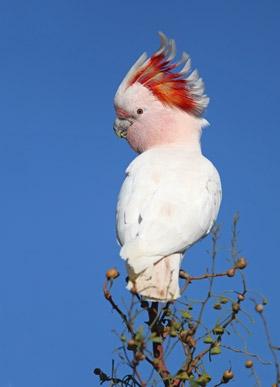 Major Mitchell's Cockatoo | BirdLife Australia